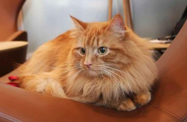 Are Maine Coons Shy, Timid, Or Skittish?