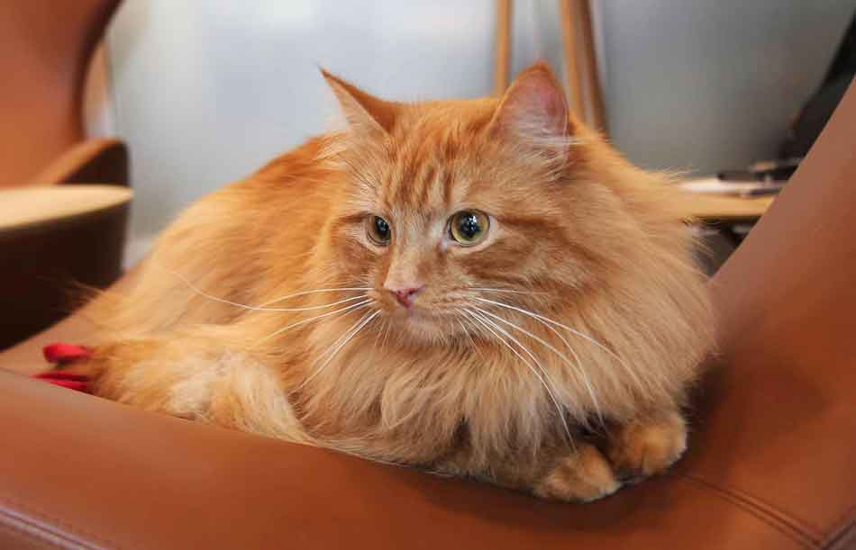 a maine coon with wide eyes
