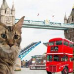 Can You Get Maine Coon Cats In The UK? (UK Maine Coon Guide)
