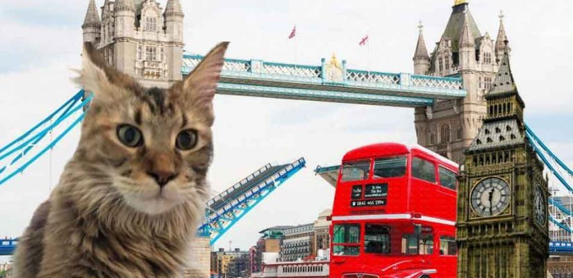 a maine coon with london bridge