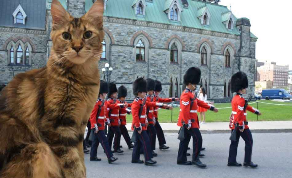 a maine coon with beefeaters