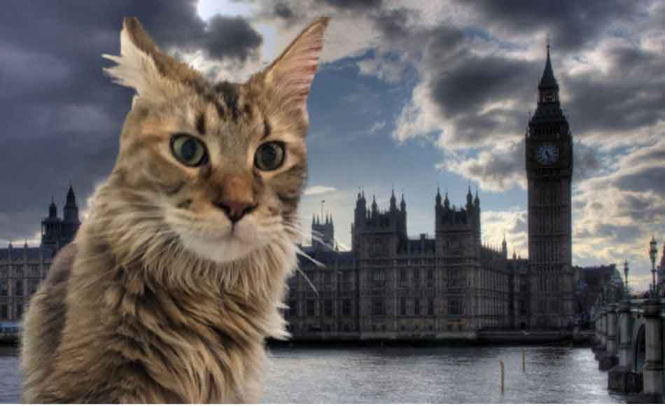 a maine coon with the houses of parliament