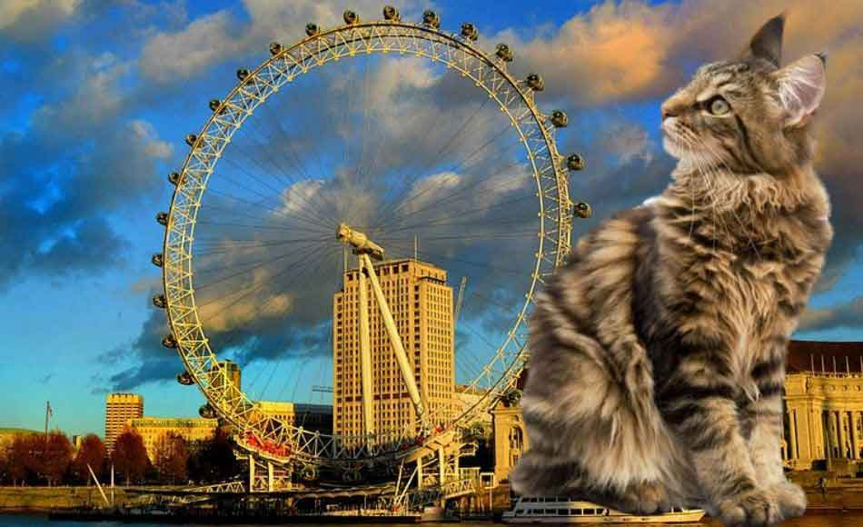 a maine coon with the london eye