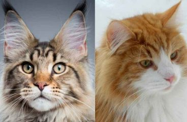 Maine Coon vs The Norwegian Forest Cat  (Telling Them Apart)