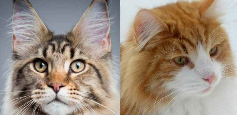 a maine coon and a norwegian forest cat compared