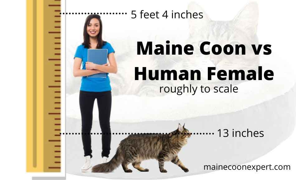 a maine coon compared to a human female