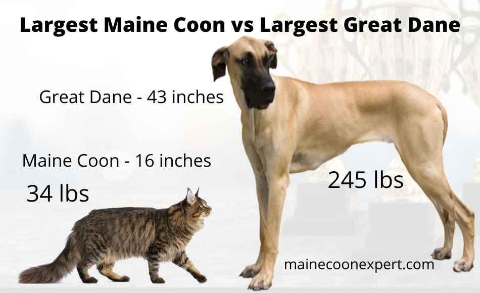 a maine coon vs great dane size comparison