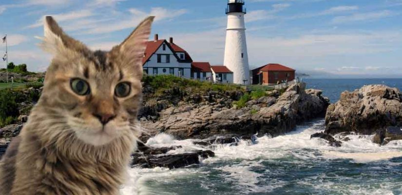 a maine coon at portland lighthouse