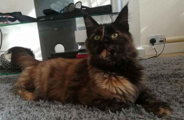 The Tortoiseshell Maine Coon – The Majestic Queen