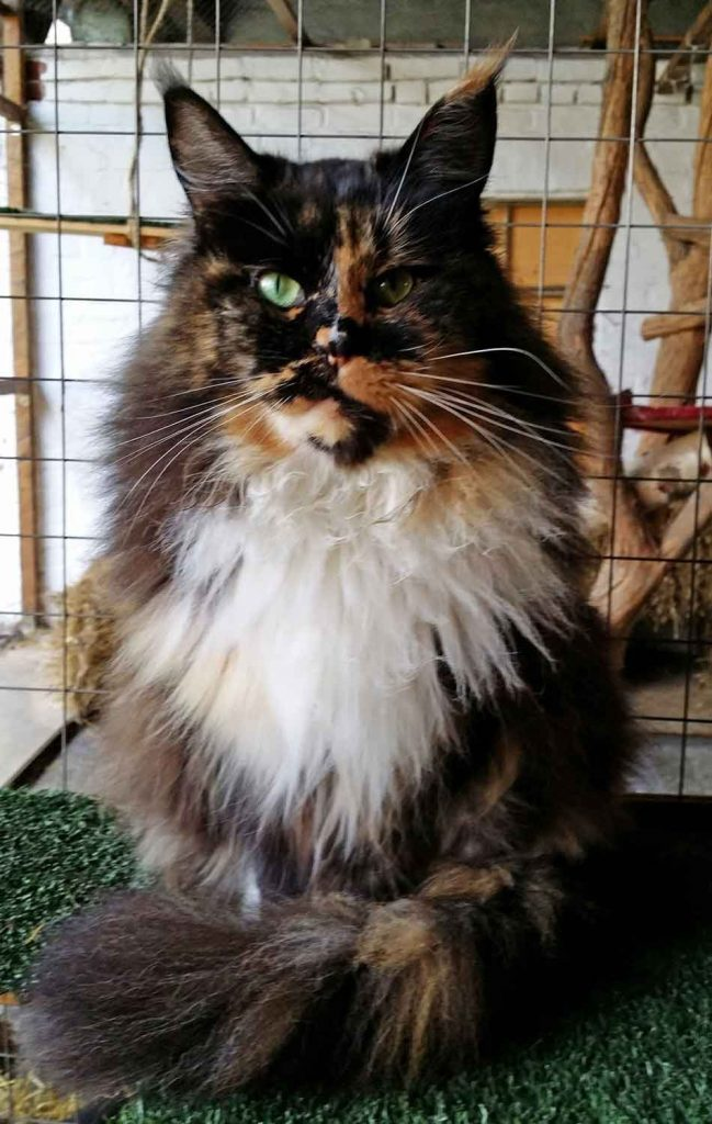 a tortoiseshell Maine Coon cat face on