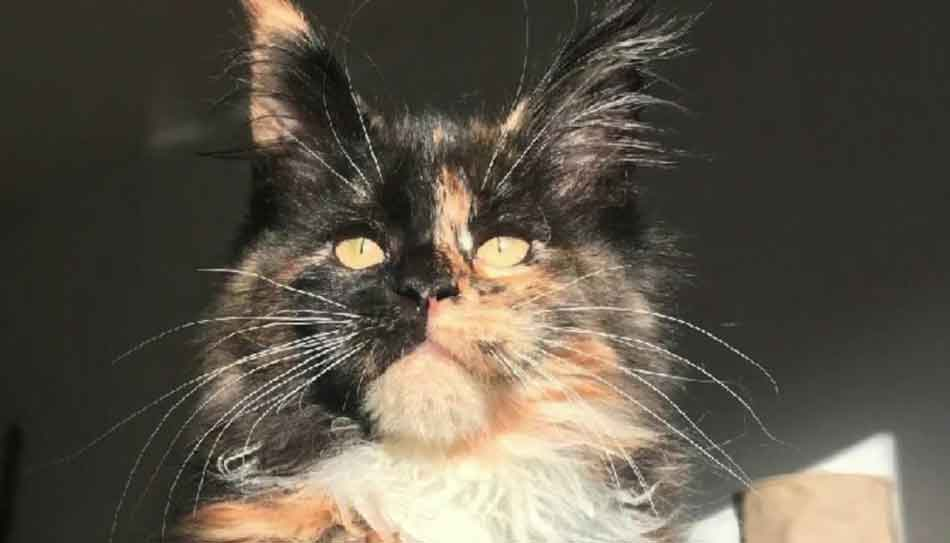 a tortie Maine Coon young adult