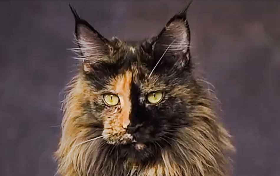 a tortie Maine Coon adult