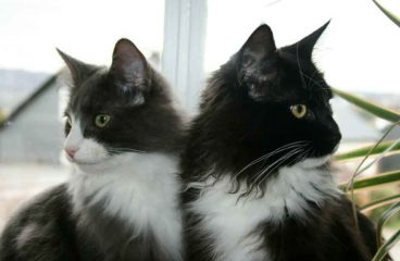 The Tuxedo Maine Coon – The James Bond Of Cats