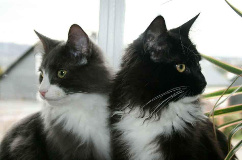 2 maine coon kittens