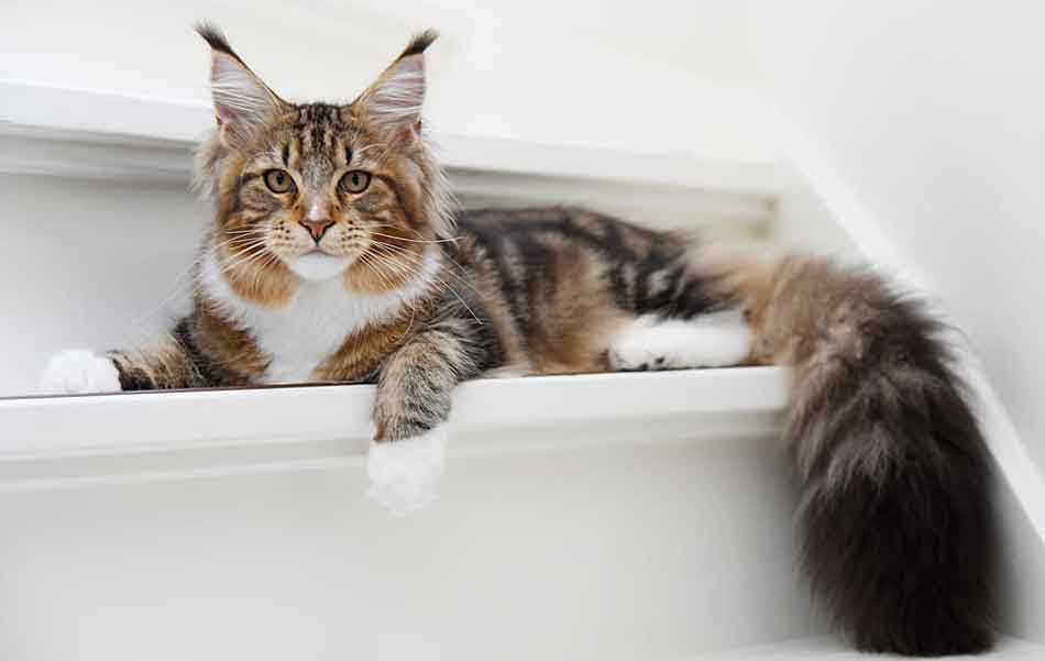 a maine coon on a stair
