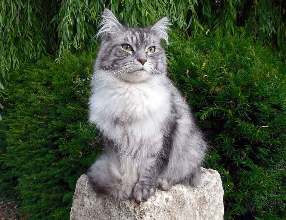 a gray maine coon sitting on a rock