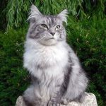 What Does Mixed Breed Maine Coon Mean? (Pros And Cons)