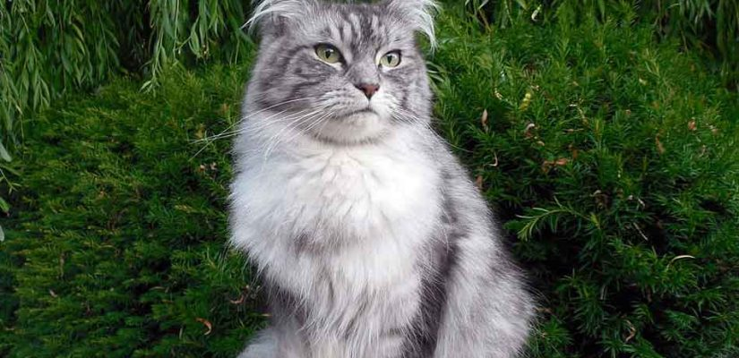 a gray maine coon sitting on a rock - cropped