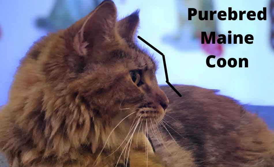 side profile of wedge shaped face of maine coon